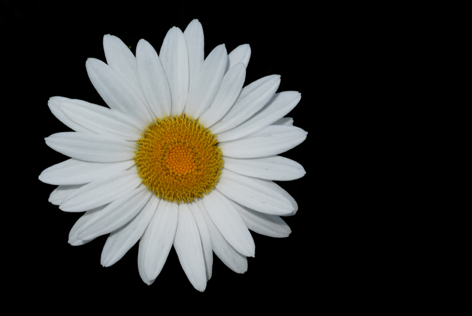 Daisy Black Background 72634 | MEDIABIN