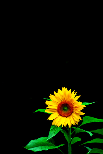 Single Sunflower Background