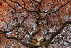 photograph of a Japanese Maple Tree during the golden fall autumn color shot from the ground up