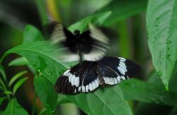 photograph of two black and white tropical butterflies, one resting on a green leaf and the other flying above it.