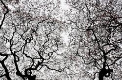 Abstract photograph of a large Japanese Maple Tree from below against the sky in early Spring.