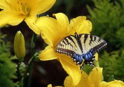 photograph os a Swallowtail butterfly on yellow lily flower