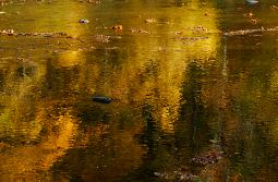 Gold and yellow autumn colors reflected in river