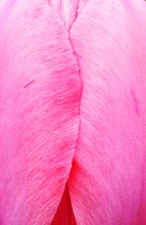 Abstract close up macro photograph of the side of a closed pink tulip