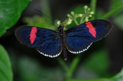 photograph of a Postman tropical butterfly black with red markings and little white spots on the edge of its wings
