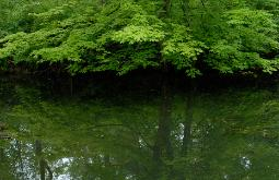 photograph of a lush green maple tree boughs over calm reflective water