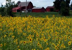 photograph of a field of sunflowers with a red barn in the back ground in northeast Ohio Hiram