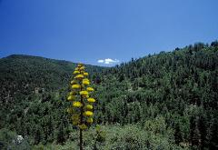 photograph of green-forested hills near Prescot, Arizona, USA with one tiny white cloud and large yellow flowering Century Coastal Plant, Agave in the foreground... very unusual