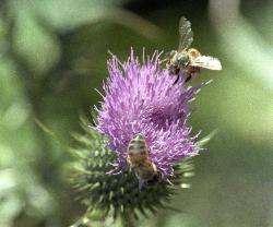 photograph of honey bees on a purple thistle. The bees show large polen collecting on their legs
