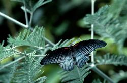 photograph of a tropical butterfly black and gray with stripes