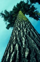 photograph of a California Redwood tree photographed from base directly upward